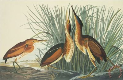 Least Bittern Painting by John James Audubon; Least Bittern Art Print for sale