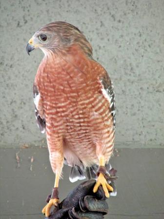 Red-shoulderHawk