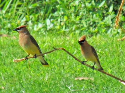 Waxwing-Pair