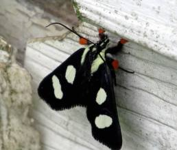 Eight-spottedForesterMoth