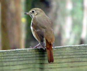 HermitThrush-One