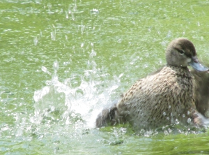Pintail-Splashing