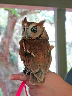 Screech-Owl-LUCY