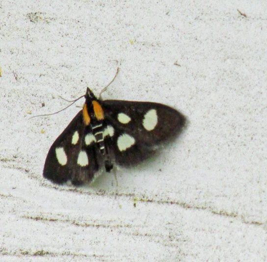 White-spottedSableMoth