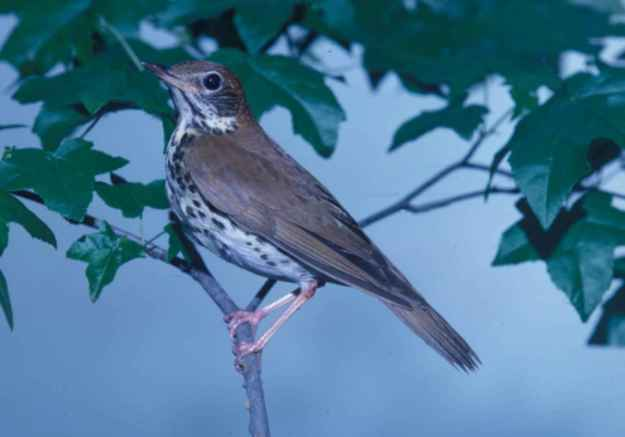 wood-thrush-songbird-hylocichla-mustelina-looks-up-while-it-perches-on-a-branch