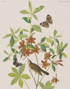 1-brown-headed-worm-eating-warbler-john-james-audubon
