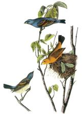 blue-grosbeak-john-james-audubon