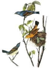 blue-grosbeak-john-james-audubon
