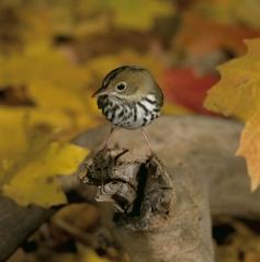 ovenbird-warbler