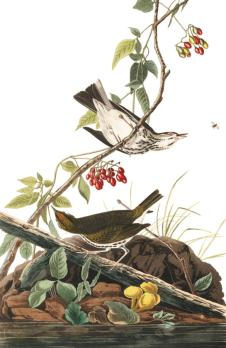 plate-143-golden-crowned-thrush-final
