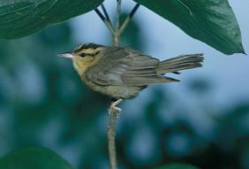 worm-eating-warbler