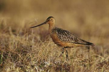 bartailed_godwit_on_tundra