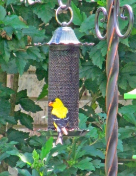 goldfinch-thistlefeed