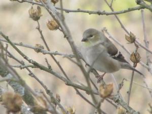 goldfinch-twigs