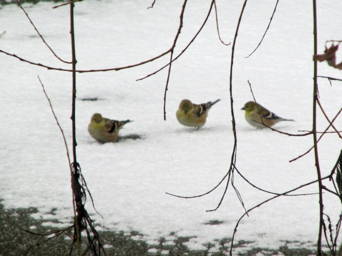 goldfinches-iced