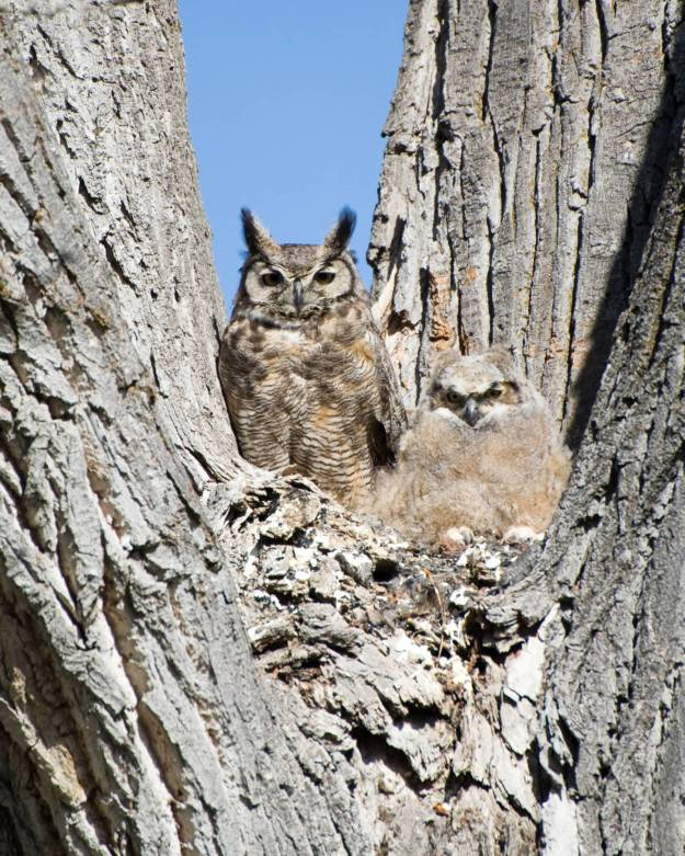 great_horned_owl_and_chick-2