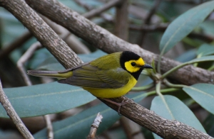 hooded-warbler-at