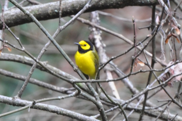 hooded-warbler