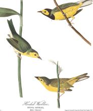 plate-110-hooded-warbler-final-2