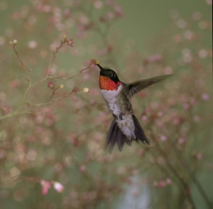 rubythroated_hummingbird