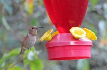 Photo by Bryan Stevens • A rufous hummingbird hovers nears a feeder.