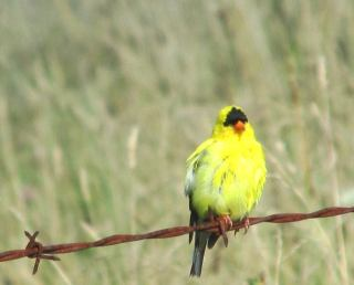 summer-goldfinch