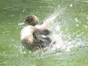 bluewingteal-splash