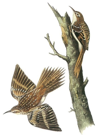 brown-creeper-john-james-audubon