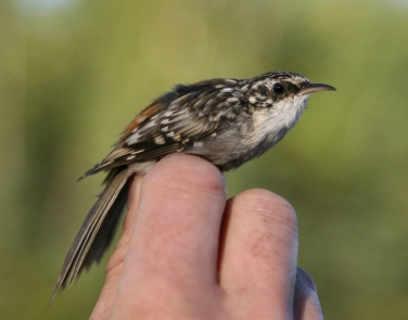 brown_creeper