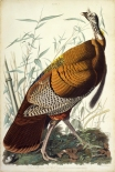 john_james_audubon_-_great_american_cock_wild_turkey