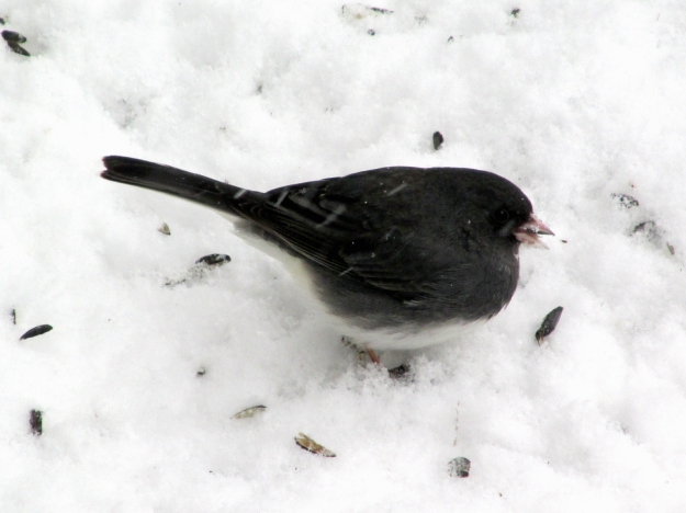 junco-feb9