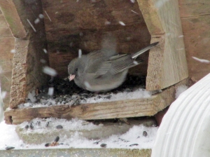 snow-junco-1