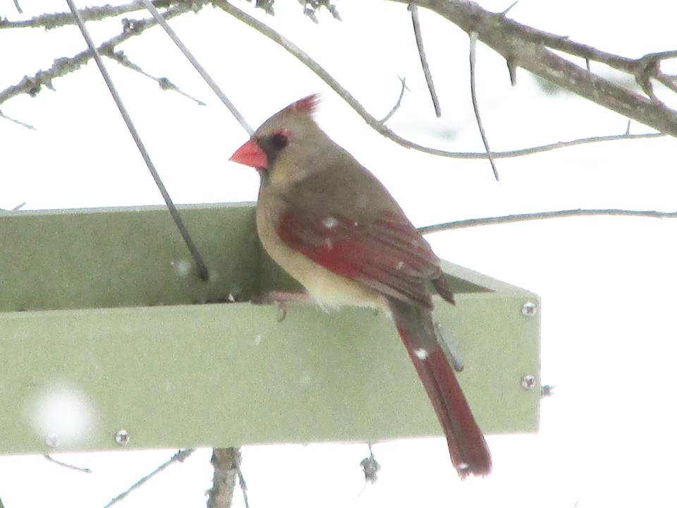 Cardinals Provide Perfect Symbol For Christmas Holiday Our Fine