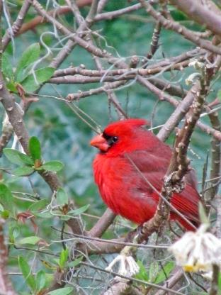 cardinal-brookgreen