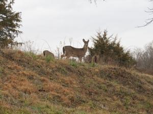 cbc-deer