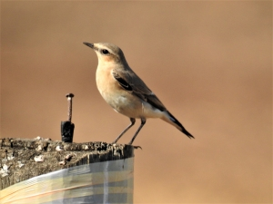 northernwheatear-one