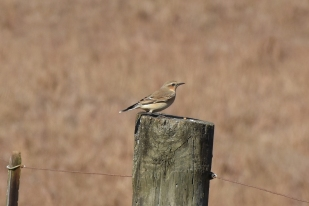 northernwheatear-two