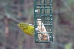 pinewarbler-bryan