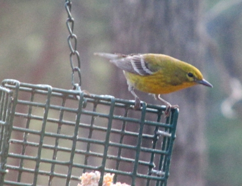 pinewarbler-bryantwo