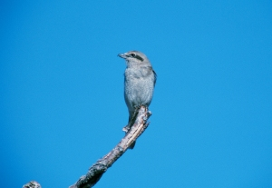 Northern shrike perched on bare branch