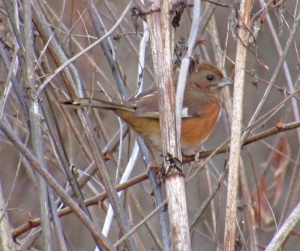 cbc-femaletowhee
