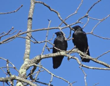 crows-dec-21