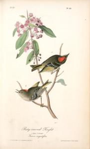 john-james-audubon-ruby-crowned-kinglet-1-male-2-female-kalmia-augustifolia