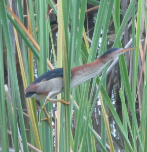 least-bittern-photo