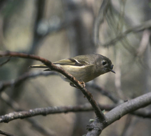 kinglet fruit