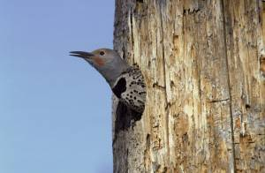 northern_flicker-1-2