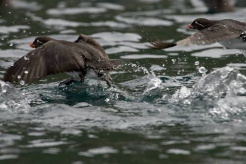 parakeet_auklet_flight_castle_rock_shumagin_islands