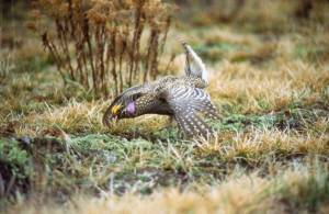 sharptailed_grouse-2