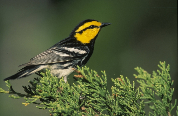 Goldencheeked_Warbler_wood-2