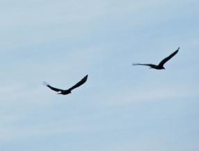vultures-soaring